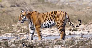 WildTigerspeciePantheratigrisfemale-Nepal